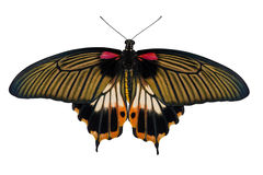 Top view of female yellow body Great mormon Butterfly Royalty Free Stock Images