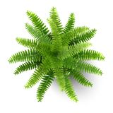Fern in a pot top view. Top view of fern in a pot. Houseplant for decorating the worktop. Vector 3d realistic style Royalty Free Stock Photo