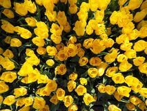 Top view of a field with yellow tulips royalty free stock photos