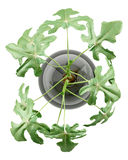 Top view of fig plant in glass vase isolated on white. Background Royalty Free Stock Photography