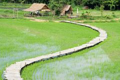 Top view of rice field and hut in Thailand. Top view or flat lay of Rice field with bamboo bridge walking trail and hut in the morning at rural in rainy season Stock Photo