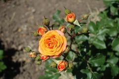 Top view of flower of orange rose. Top view of flower of bright orange rose royalty free stock photography