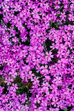 Top view flower phlox subulata as background Stock Images