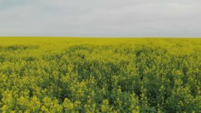 Top view of rapeseed plant flowers stock video