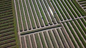 Top view footage of onion farmland and farmers stock footage