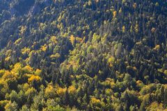 Top view of forest in the fall with yellow trees. And pines Stock Images