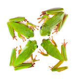 Top view on four frogs Stock Image