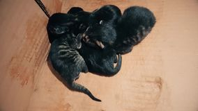 New born baby kittens sleeping together in a carton box. Top view of four new born kittens sleeping together in a carton box stock footage