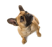 Top view of a French Bulldog (3 years old) Royalty Free Stock Photography