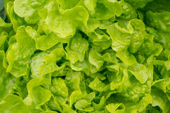 Top view on fresh green lettuce salad. Healthy food. Royalty Free Stock Photos