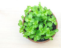 Top view of fresh kitchen mint plant in pot stock photos