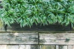 Top view of fresh leaves Chlorophytum bichetil plant Stock Image