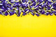 Fresh purple Butterfly pea flower on yellow background. Food or