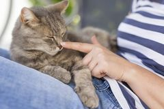 Cat in woman`s lap. Top view of a furry tabby cat lying on its owner`s lap, enjoying being cuddled and purring Royalty Free Stock Images