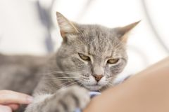 Cat in woman`s lap Stock Photography