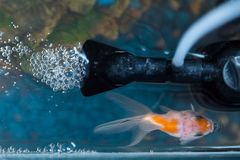 Top view of goldfish in the aquarium at home. Fish rock and plants in the background stock photography