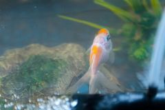 Top view of goldfish in the aquarium at home. Fish rock and plants in the background royalty free stock photos