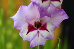Top view of a gorgeous purple gladiolus flower isolated against a background of green leaves. Beautiful backgrounds.  stock photos