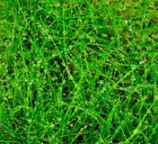 Top view of grasses with morning dew drops. Top view of grasses with small morning dew drops Royalty Free Stock Photography
