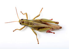 Top view of grasshopper Stock Photography