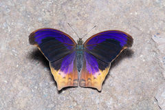 Top view of Great Assyrian (Terinos atlita) butterfly Stock Photo
