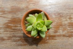Top view of green cactus on wood table Stock Images