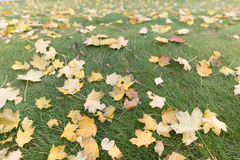 Top view on green grass with autumn yellow leaves. Colorful fall maple leaves on a background of grass. Autumn and lifestyle Royalty Free Stock Photography