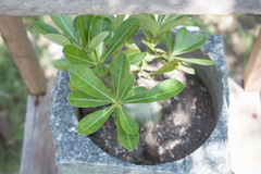 Top view of green plant in stone pot Royalty Free Stock Photo