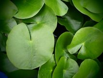 Top view of green water lily pads. Stock Image