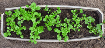 Top view of green young seedlings. Royalty Free Stock Images