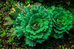Top view grenn cabbage Stock Photography