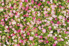 Top view of Gypsophila flower Royalty Free Stock Photo