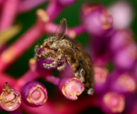 Top view  of gypsy moth  hanging on Medinella magnifica flower Stock Image