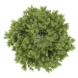 Top view of hackberry tree  on white Royalty Free Stock Image