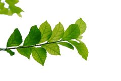 Top view Hakka tea plant leaves with branches on white isolated background p. For green foliage backdrop and copy space stock photography