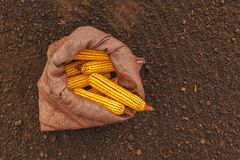 Top view of harvested corn cobs in burlap sack. Left in the field stock images