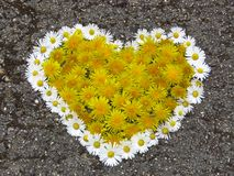 Top view. Heart shaped daisy and dandelion flowers bouquet on the road. Taraxacum. Bellis perennis. Spring summer white yellow flower. Suitable for greeting stock images