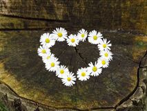 Top view. Heart shaped daisy flowers bouquet on tree stump background. Bellis perennis. royalty free stock photography