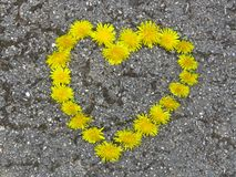 Top view. Heart shaped dandelion flowers bouquet on the road. Taraxacum. Spring summer yellow flower. Suitable for greeting card, St Valentines day, wedding stock images