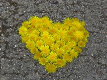 Top view. Heart shaped dandelion flowers bouquet on the road. Taraxacum. Spring summer yellow flower. Suitable for greeting card, St Valentines day, wedding stock photography