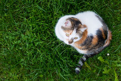 Top view of house calico cat sitting in grass Royalty Free Stock Photo
