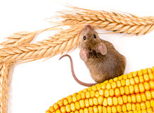 Top view of house mouse (Mus musculus) along seeds Royalty Free Stock Photo