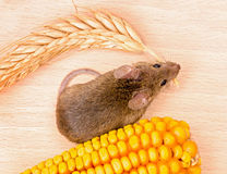 Top view of house mouse (Mus musculus) carrying wheat ear Royalty Free Stock Images