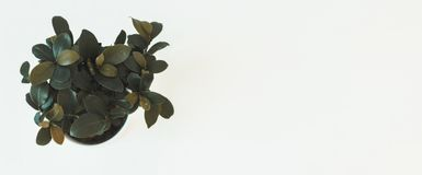 Top view of houseplant ficus microcarpa ginseng on white table stock image