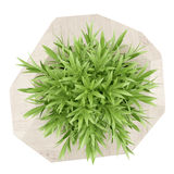 Top view of houseplant in wooden pot isolated on white Royalty Free Stock Photography