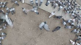 Top view of Huge Flock of Pigeons in the City Street. The camera is moving over a flock of pigeons. Lot of pigeons eat food on the street. Feeding Pigeons on stock video