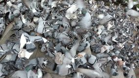 Top View of Huge Flock of Pigeons Eating Bread Outdoors in the City Park. Slow Motion. Lot of pigeons eat food on the street. Feeding Pigeons on the sidewalk stock footage