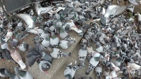 Top View of Huge Flock of Pigeons Eating Bread Outdoors in the City Park. Slow Motion. Lot of pigeons eat food on the street. Feeding Pigeons on the sidewalk stock video footage