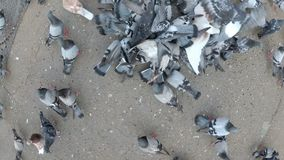 Top View of Huge Flock of Pigeons Eating Bread Outdoors in the City Park. Lot of pigeons eat food on the street. Feeding Pigeons on the sidewalk in the park stock footage