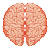 Top view of human brain Royalty Free Stock Photo